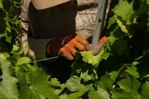 Emparrado, continuamos con las labores en los viñedos de Palacio de Canedo